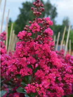 Lilas des Indes 'Fuchsia D'Eté®' 'indyfus'