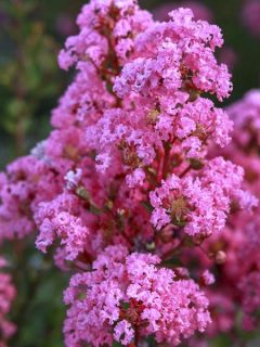 Lilas des Indes 'Girl With Love'