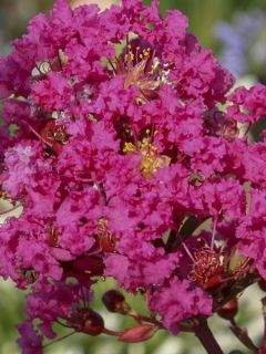 Lilas des Indes 'Kiss With Love'