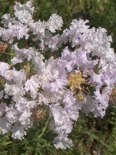Lilas des Indes 'La Fayette'