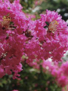 Lilas des Indes 'Mimie Fuchsia