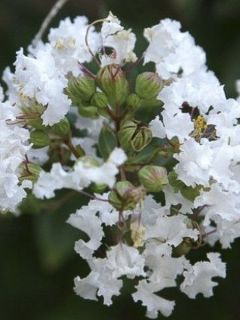 Lilas des Indes Pixie White - Lagerstroemia indica