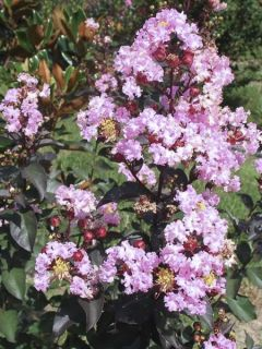 Lagerstroemia Rhapsody in PINK - Lilas des Indes.