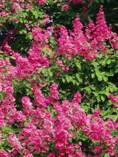Lilas des Indes 'Rose Fuchsia'