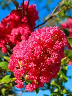 Lilas des Indes 'Rose Indien'
