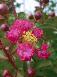Lilas des Indes 'Rubra'