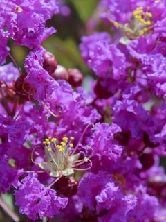Lilas des Indes 'Terre Chinoise'