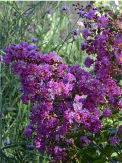 Lilas des Indes Violet D Ete® 'indyvio'
