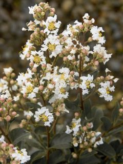 Lilas des Indes 'White Chocolate'