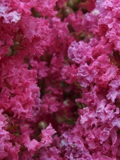 Lagerstroemia indica Yang Tse - Lilas des Indes