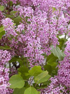 Lilas 'Flowerfesta Pink'