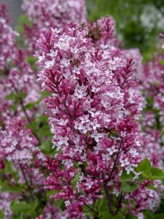 Lilas 'Tinkerbelle '