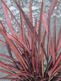 Phormium tenax Evening Glow - Lin de Nouvelle-Zélande