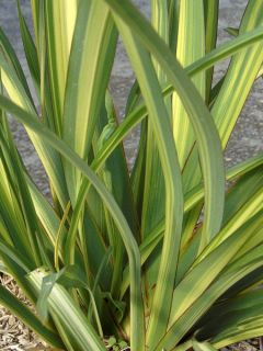 Phormium Golden Ray - Lin de Nouvelle-Zélande