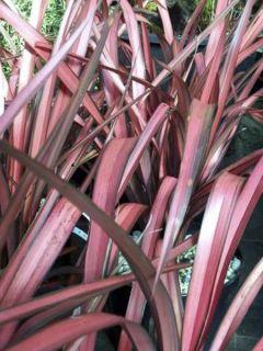 Phormium Pink Panther - Lin de Nouvelle-Zélande