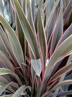 Phormium  Pink Stripe - Lin de Nouvelle-Zélande