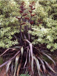 Lin de Nouvelle-Zélande 'Purpureum'