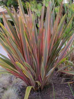 Phormium Sundowner - Lin de Nouvelle-Zélande