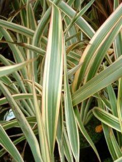 Phormium Tricolor - Lin de Nouvelle-Zélande - Lin des montagnes