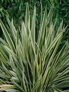 Phormium tenax Variegatum - Lin de Nouvelle-Zélande