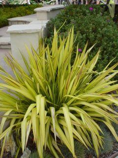 Phormium Yellow Wave - Lin de Nouvelle-Zélande