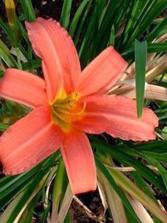 Hémérocalle Pink Damask - Hemerocallis Pink Damas