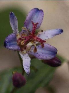 Lis orchidée - Tricyrtis hirta Taiwan Abdane