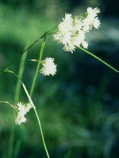 Luzule blanche - Luzula nivea