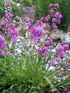 Lychnis alpina - Lychnis des Alpes - Silene suecica - Viscaria alpina