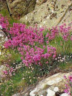 Lychnis viscaria Plena - Attrape-mouches à fleurs doubles