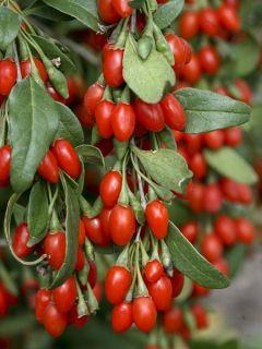 Goji Big Lifeberry® - Lycium barbarum