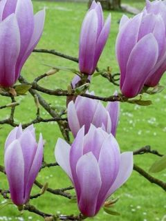 Magnolia 'Andre Leroy'