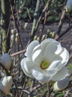 Magnolia dénudé 'Double Diamond'