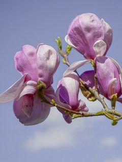 Magnolia dénudé 'Festirose '