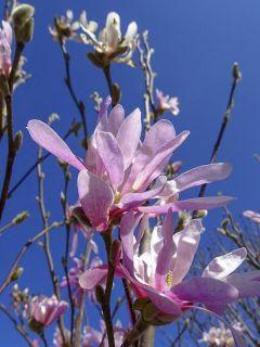 Magnolia stellata Rosea - Magnolia étoilé