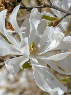Magnolia étoilé - Magnolia stellata Waterlily