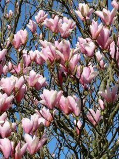 Magnolia  'Heaven Scent'