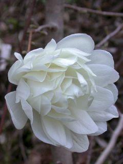 Magnolia x loebneri Wildcat - Magnolia hybride
