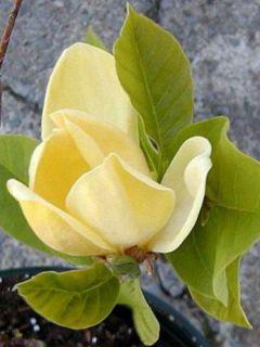 Magnolia brooklyniensis.Yellow Bird