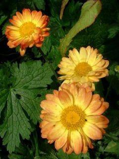 Chrysanthème rubellum Dernier Soleil - Marguerite d'automne.