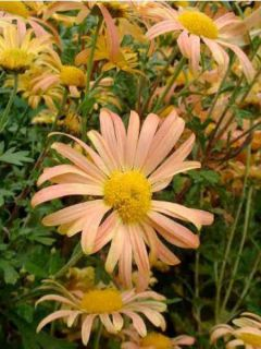 Marguerite d'automne 'Mary Stocker'