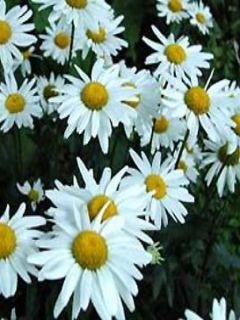 Leucanthemum superbum Gruppenstolz - Grande marguerite