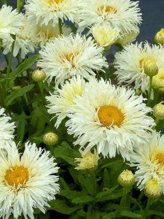 Leucanthemum Kings Crown - Grande marguerite.
