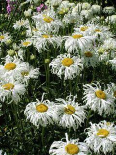 Leucanthemum superbum Old Court - Grande Marguerite
