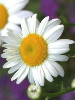 Leucanthemum  Polaris - Marguerite Polaris