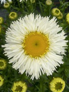 Marguerite 'Real Galaxy'