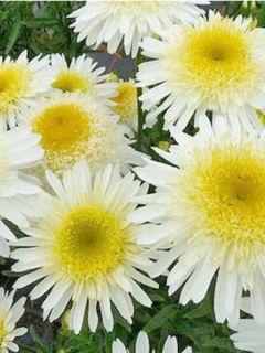 Leucanthemum superbum Real Glory - Grande Marguerite superbum Real Glory