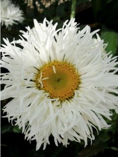 Leucanthemum Shapcott Ruffles - Grande marguerite