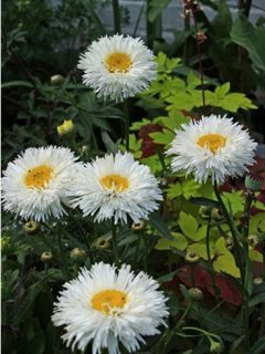 Leucanthemum Shapcott Summer Clouds - Grande Marguerite