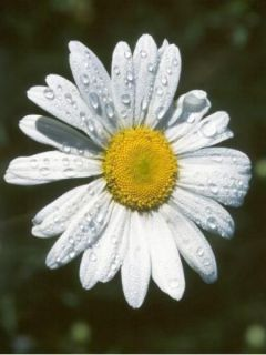 Marguerite 'Silver Princess'